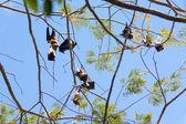 Fruit bats (Pteropodidae, Megachiroptera) — Stock Photo
