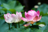 Lotus (Nelumbo) — Stockfoto