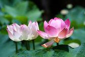 Lotus (Nelumbo) — Stock Photo