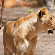 Lion - Panthera leo - Stock Photo