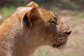 Lion - Panthera leo — Stock Photo