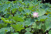 Lotus Nelumbo — Stock Photo