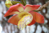 Cannonball Tree Couroupita guianensis — Stockfoto
