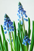 Grape Hyacinth - Muscari — Stock Photo