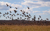 Flight of geese — Stock Photo