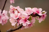Peach Blossom — Stock Photo