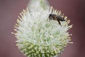 Onion flower — Stock Photo