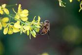 Oilseeds flower — Stock Photo