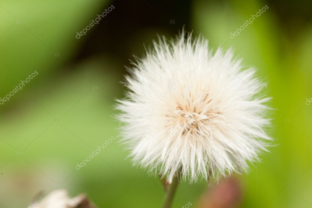 Dandelion flower — Stock Photo #4506898