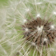 Stock Photo: Dandelion flower