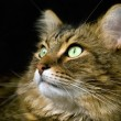 Handsome adult maine coon cat on black background - Stock Photo