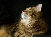 Adult maine coon cat looking left — Stock Photo