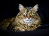 Handsome adult maine coon cat on black background — Stock Photo