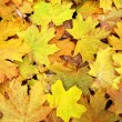 Autumn maple leaves. — Stock Photo