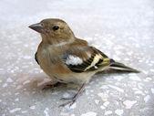 Carduelis spinus-chick. — Stock Photo