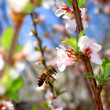 Bee around a flower in the spring cherry. — Stock Photo #4987906