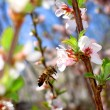 Bee around a flower in the spring cherry. — Stock Photo