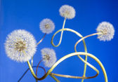 Group of curly dandelions on blue — Stock Photo