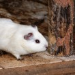 Stock Photo: White Syrihamster, Mesocricetus auratus