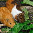 Couple of Syrian hamsters, Mesocricetus auratus - Foto Stock