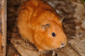 Brown Syrian hamster, Mesocricetus auratus — Stock Photo