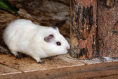 White Syrian hamster, Mesocricetus auratus — Stock Photo