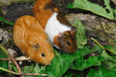 Couple of Syrian hamsters, Mesocricetus auratus — Stock Photo