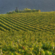 Vineyard In Franciacorta before sunset — Stock Photo