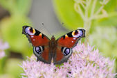 European Peacock (Inachis io) — Stock Photo