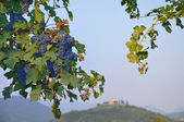 Purple grapes in Franciacorta before sunset — Stock Photo