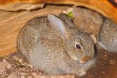 Brown rabbit hiding in an empty log — Stock fotografie