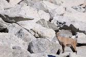 Female alpine ibex among boulders — Stock Photo