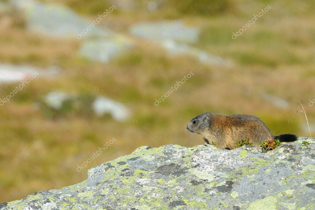 Marmot (marmota marmota) on a granite boulder — Stock Photo #4296520