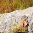 Royalty-Free Stock Photo: Marmot on a boulder
