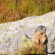 Stock Photo: Marmot on boulder