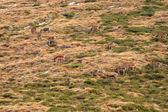 Red Deers (Cervus elaphus) — Stock Photo