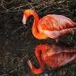 Stock Photo: AmericFlamingo Phoenicopterus ruber