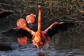 American Flamingo Phoenicopterus ruber — Stock Photo