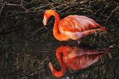 American Flamingo Phoenicopterus ruber — Foto Stock
