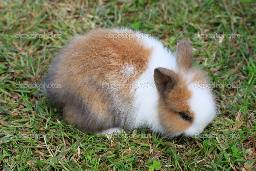 Baby dwarf rabbit — Stock Photo #3926927