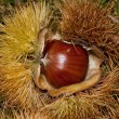 Chestnut — Stock Photo #3937980