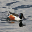 Stock Photo: Shoveler (Anas clypeata)