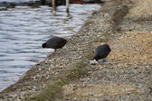 Black coots — Stock Photo