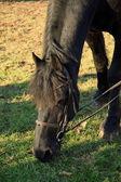 Horse grazing — Stock Photo