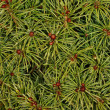 Conifer - background — Stock Photo
