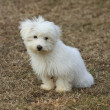Stock Photo: Maltese puppy