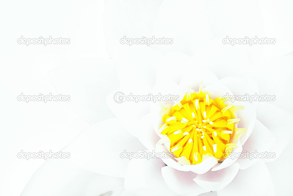 A white lotus flower set against a white background — Stock Photo #3981530