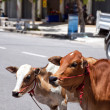 Street cows — Stock Photo #4130346