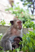 Hua Hin Monkey and baby — Stock Photo