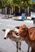 Street cows — Stock Photo